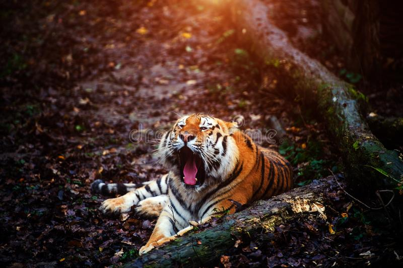 Beautiful amur tiger portrait. Outdoors, brown, autumn, forest, action, aggression, aggressive, angry, animal, background, beauty, bengal, big, carnivore, cat royalty free stock photography