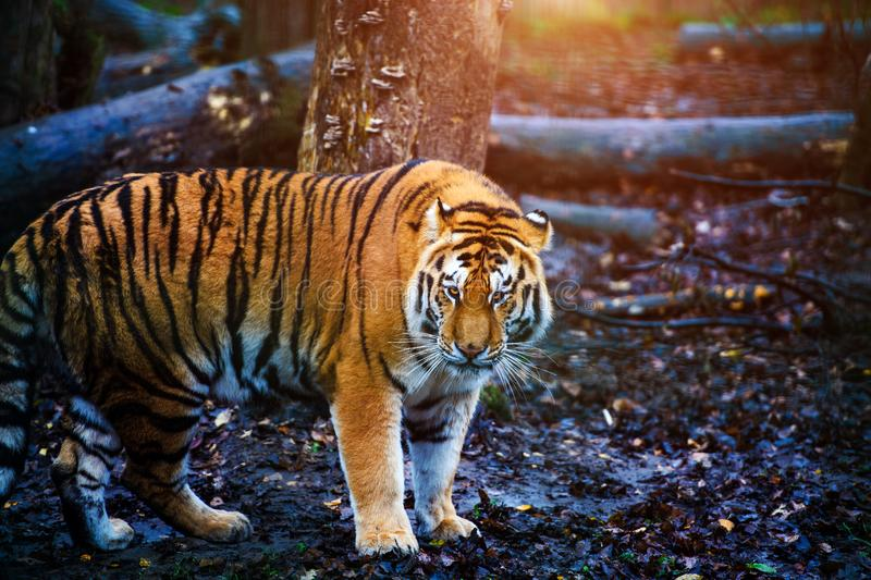 Beautiful amur tiger portrait. Outdoors, brown, autumn, forest, action, aggression, aggressive, angry, animal, background, beauty, bengal, big, carnivore, cat stock images