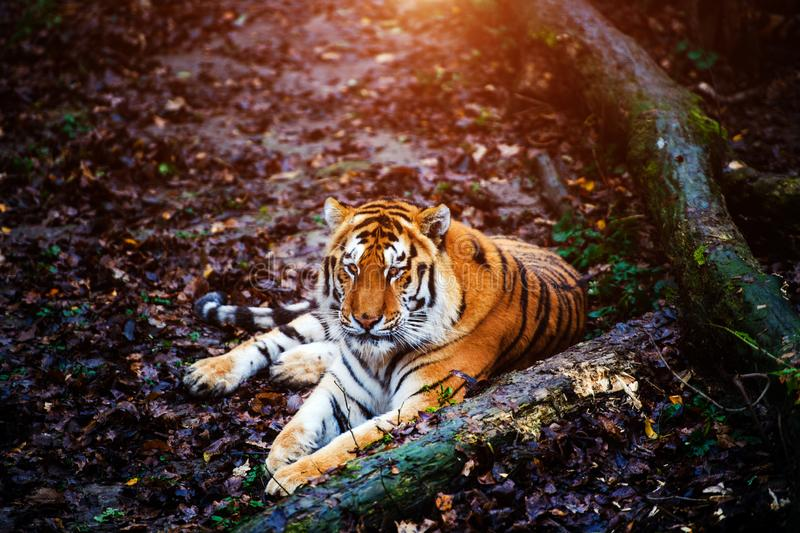 Beautiful amur tiger portrait. Outdoors, brown, autumn, forest, action, aggression, aggressive, angry, animal, background, beauty, bengal, big, carnivore, cat royalty free stock image