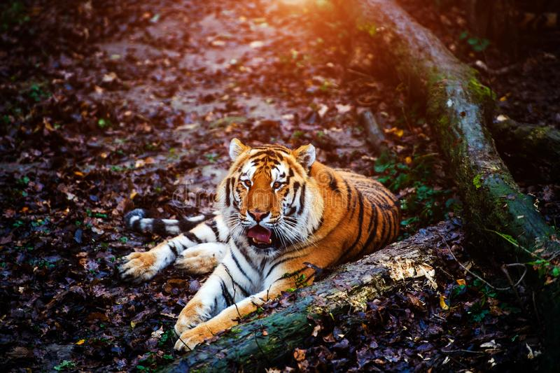 Beautiful amur tiger portrait. Outdoors, brown, autumn, forest, action, aggression, aggressive, angry, animal, background, beauty, bengal, big, carnivore, cat stock photo