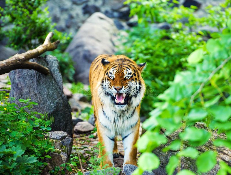 Beautiful amur tiger portrait. Action, aggression, aggressive, angry, animal, background, beauty, bengal, big, carnivore, cat, danger, expression, face, feline royalty free stock photos