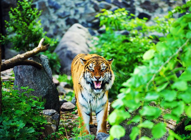 Beautiful amur tiger portrait. Action, aggression, aggressive, angry, animal, background, beauty, bengal, big, carnivore, cat, danger, expression, face, feline stock image