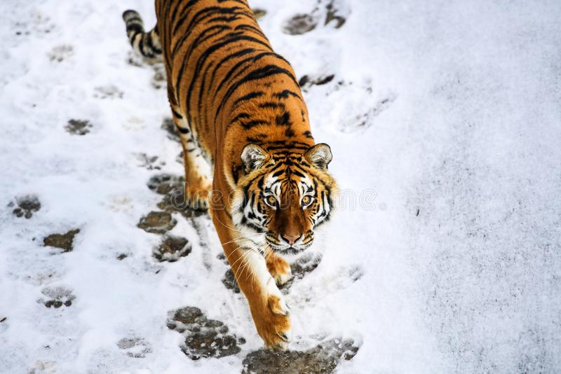 Beautiful Amur tiger on snow. Tiger in winter forest. Adult, aggressive, angry, animal, beauty, big, cat, catwalk, danger, expression, eyes, face, head, hunt royalty free stock photos