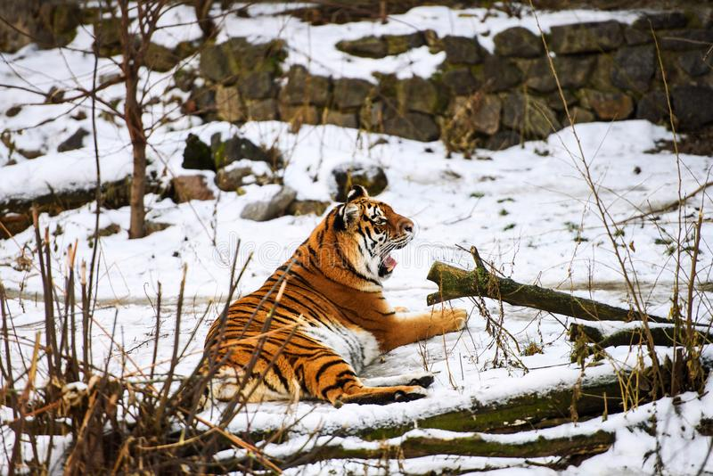 Beautiful Amur tiger on snow. Tiger in winter forest. Adult, aggressive, angry, animal, beauty, big, cat, catwalk, danger, expression, eyes, face, head, hunt stock photos