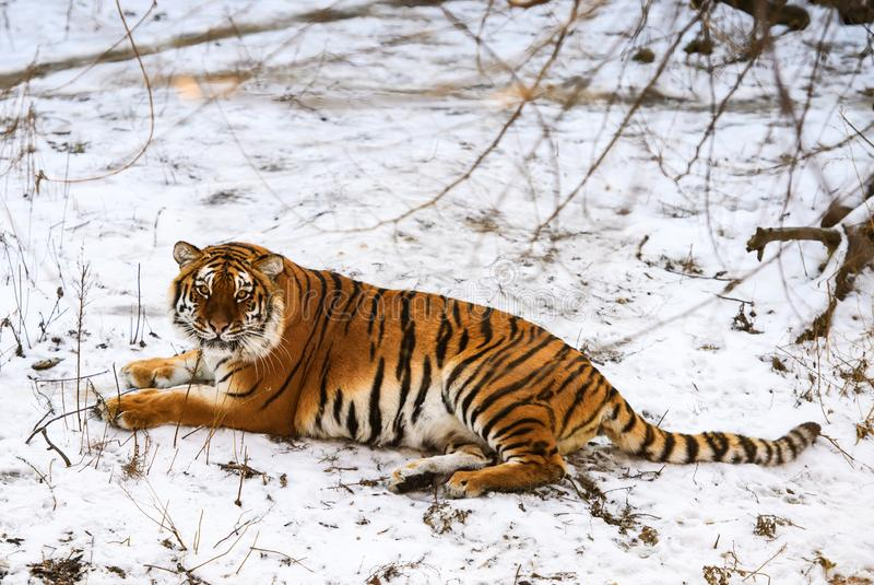 Beautiful Amur tiger on snow. Tiger in winter forest. Adult, aggressive, angry, animal, beauty, big, cat, catwalk, danger, expression, eyes, face, head, hunt stock photo