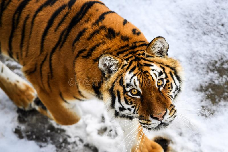 Beautiful Amur tiger on snow. Tiger in winter forest. Adult, aggressive, angry, animal, beauty, big, cat, catwalk, danger, expression, eyes, face, head, hunt stock image