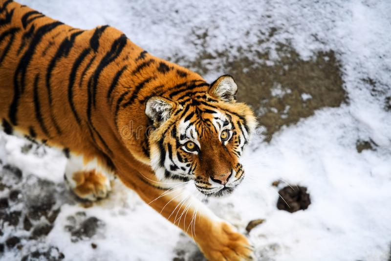 Beautiful Amur tiger on snow. Tiger in winter forest. Adult, aggressive, angry, animal, beauty, big, cat, catwalk, danger, expression, eyes, face, head, hunt royalty free stock photography