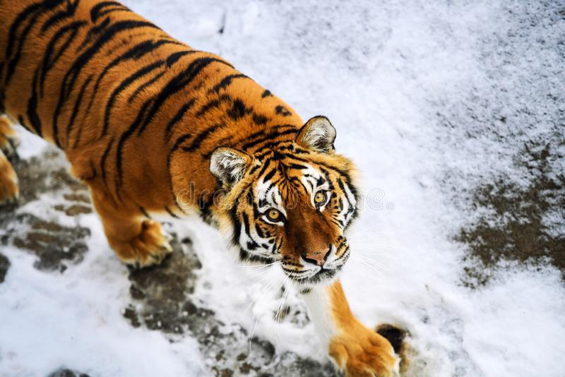 Beautiful Amur tiger on snow. Tiger in winter forest. Adult, aggressive, angry, animal, beauty, big, cat, catwalk, danger, expression, eyes, face, head, hunt royalty free stock image