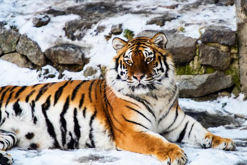 Beautiful Amur tiger on snow. Tiger in winter forest. Adult, aggressive, angry, animal, beauty, big, cat, catwalk, danger, expression, eyes, face, head, hunt royalty free stock photo