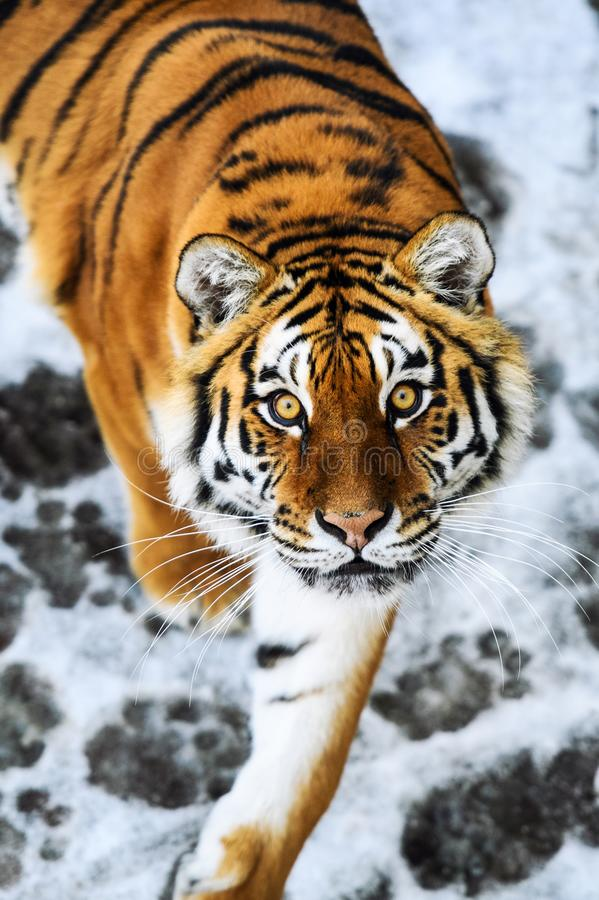 Beautiful Amur tiger on snow. Tiger in winter forest. Adult, aggressive, angry, animal, beauty, big, cat, catwalk, danger, expression, eyes, face, head, hunt stock images