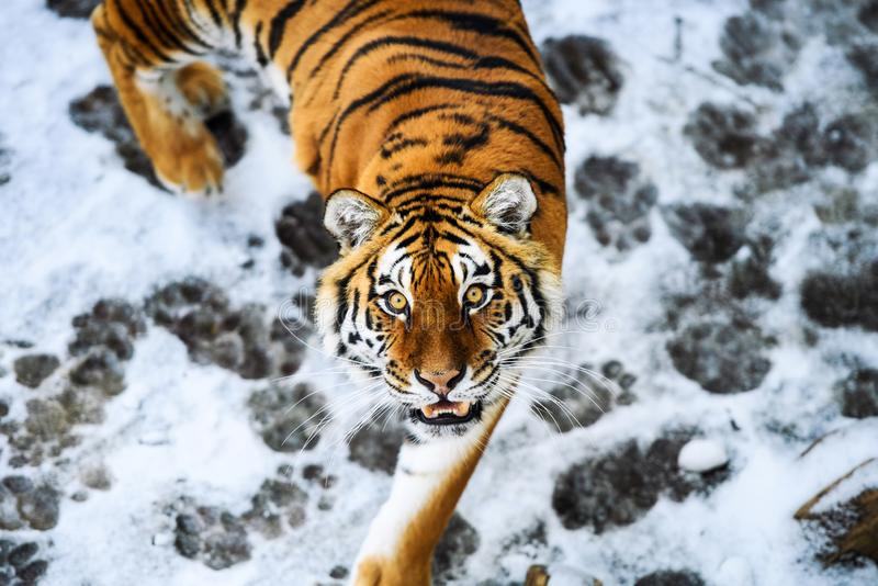 Beautiful Amur tiger on snow. Tiger in winter forest. Adult, aggressive, angry, animal, beauty, big, cat, catwalk, danger, expression, eyes, face, head, hunt royalty free stock images