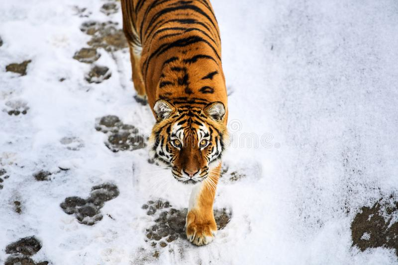 Beautiful Amur tiger on snow. Tiger in winter forest. Adult, aggressive, angry, animal, beauty, big, cat, catwalk, danger, expression, eyes, face, head, hunt stock photography