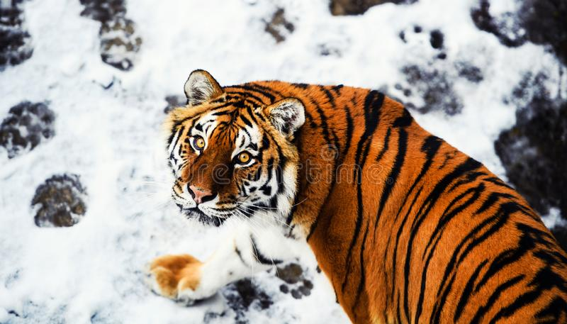 Beautiful Amur tiger on snow. Tiger in winter. Wildlife scene with danger animal royalty free stock photography