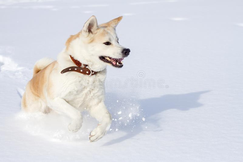 A beautiful amusing Japanese Akita Inu in a leather collar runs in winter on clean white fluffy snow with open jaws. A beautiful amusing Japanese Akita Inu in a royalty free stock image