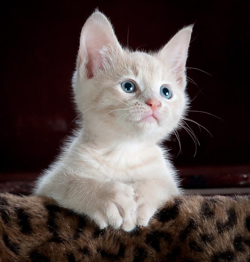 Free Beautiful And Attractive Cat Royalty Free Stock Photography - 183681167