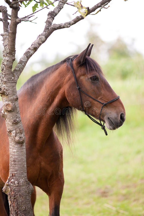 Beautiful andalusian Horse portrait. On meadow stock images