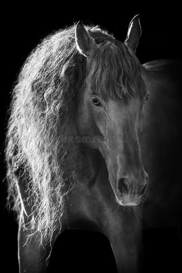 Beautiful andalusian horse royalty free stock photos