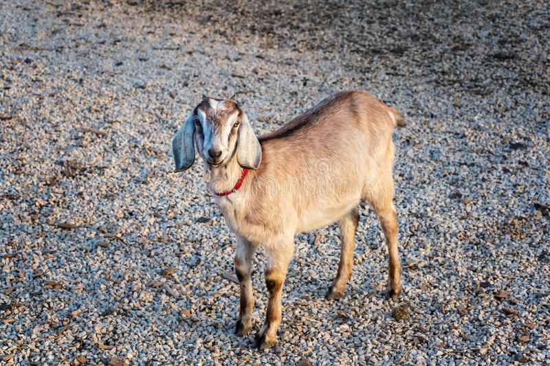 Beautiful Anglo-Nubian goat standing on crushed stones royalty free stock photo