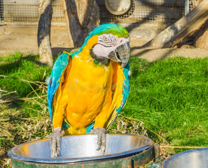 Beautiful animal portrait of a colorful macaw parrot bird sitting and looking towards the camera royalty free stock images