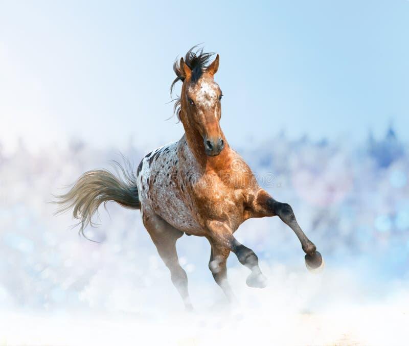 Beautiful appaloosa stallion running gallop. In sunset prairies royalty free stock images