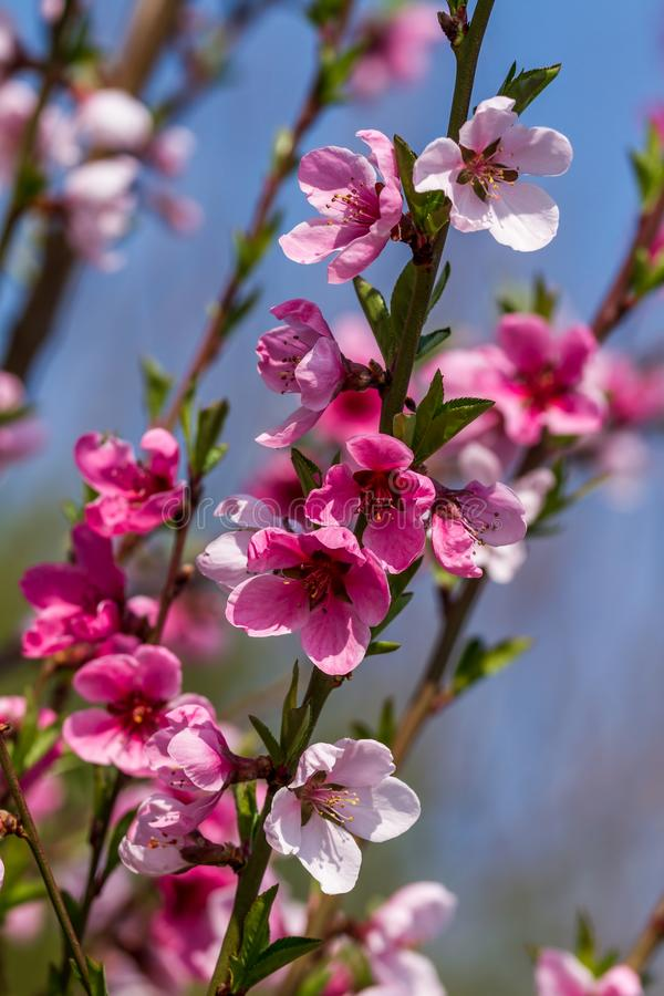 Beautiful apple flower at spring royalty free stock photo