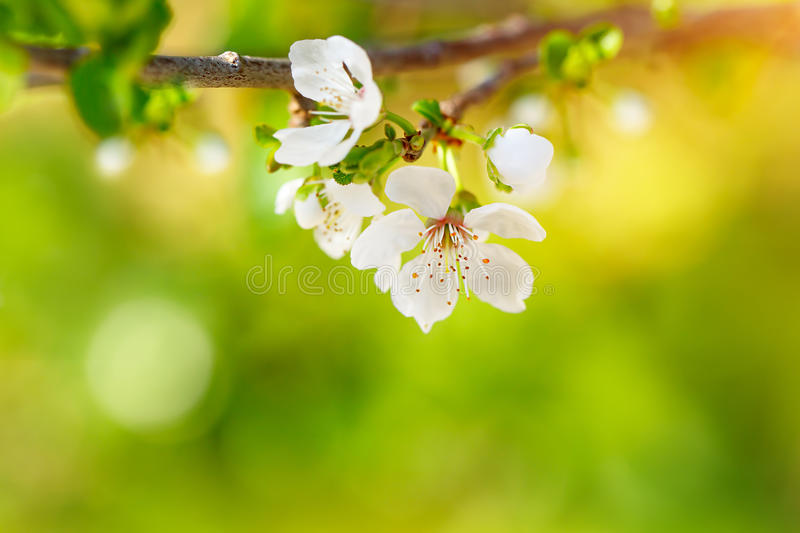 Beautiful apple tree blooming royalty free stock images