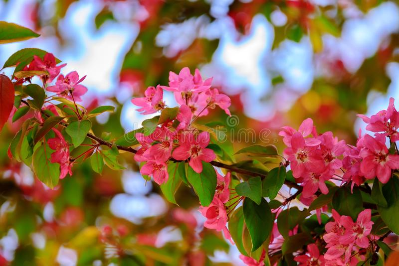 Detailed apple tree blossom with pink petals on the blue sky as a background.Large close-up photography from Tulip Festival stock images