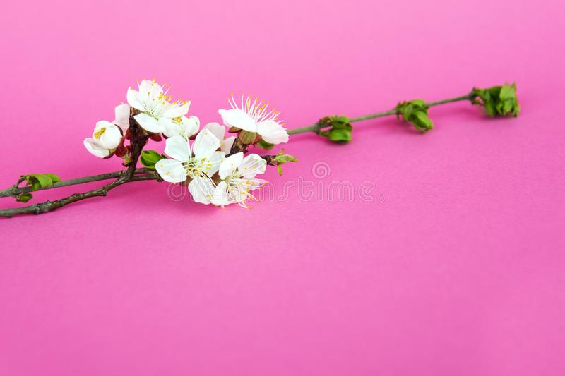 Beautiful apple tree branch on pink background. Beautiful pink spring flowers. White flowers. Cherry flower close up. Apple tree royalty free stock photography