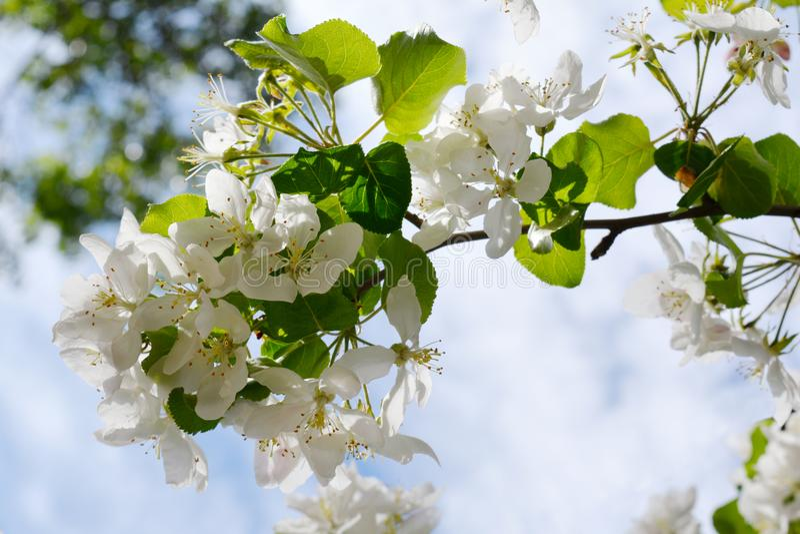 Beautiful apple tree branch. Spring blooming stock image