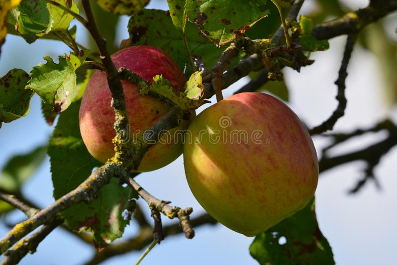 Apples. Beautiful apples in a tree, pure nature stock images