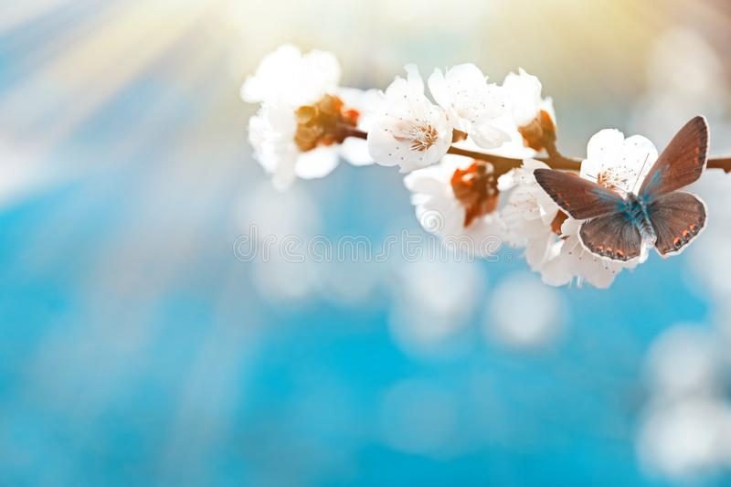 Beautiful apricot tree branch with tiny tender flowers against blurred background, space for text. Awesome spring blossom stock image