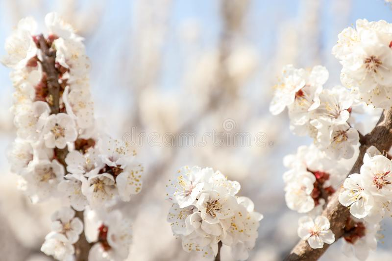 Beautiful apricot tree branches with tiny tender flowers outdoors. Awesome spring blossom. Beautiful apricot tree branches with tiny tender flowers outdoors stock photos