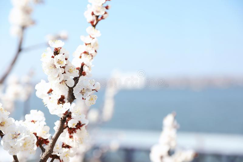 Beautiful apricot tree branches with tiny tender flowers outdoors. Awesome spring blossom. Beautiful apricot tree branches with tiny tender flowers outdoors stock image