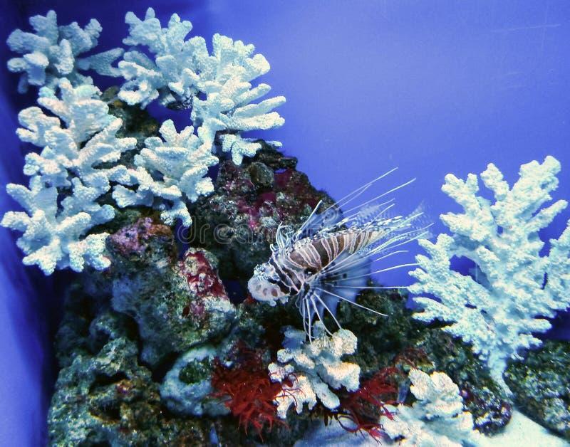 Beautiful aquarium with coral, algae and dragon fish royalty free stock photo