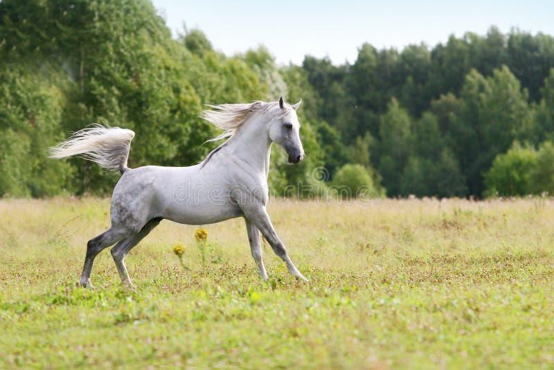 Download Beautiful Arab Stallion Royalty Free Stock Photography - Image: 12728747