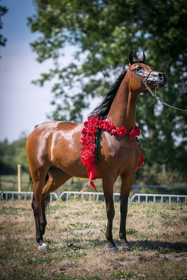 Beautiful Arabian horse. royalty free stock photo