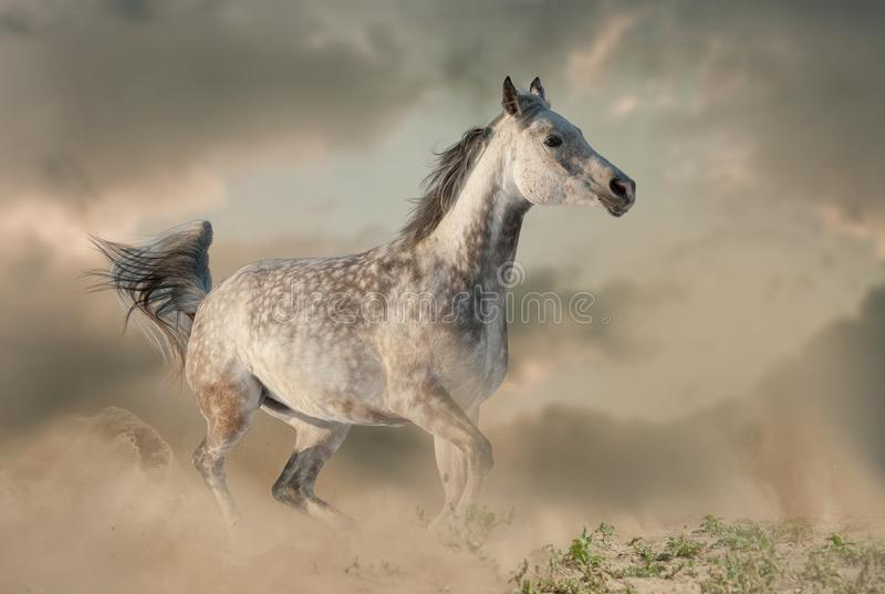 Beautiful arabian horse in the dust running stock photos