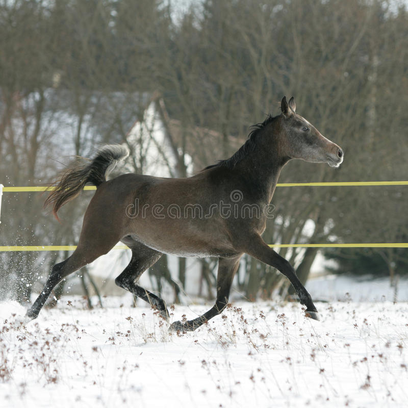 Beautiful Arabian Horse Running In Winter Stock Image
