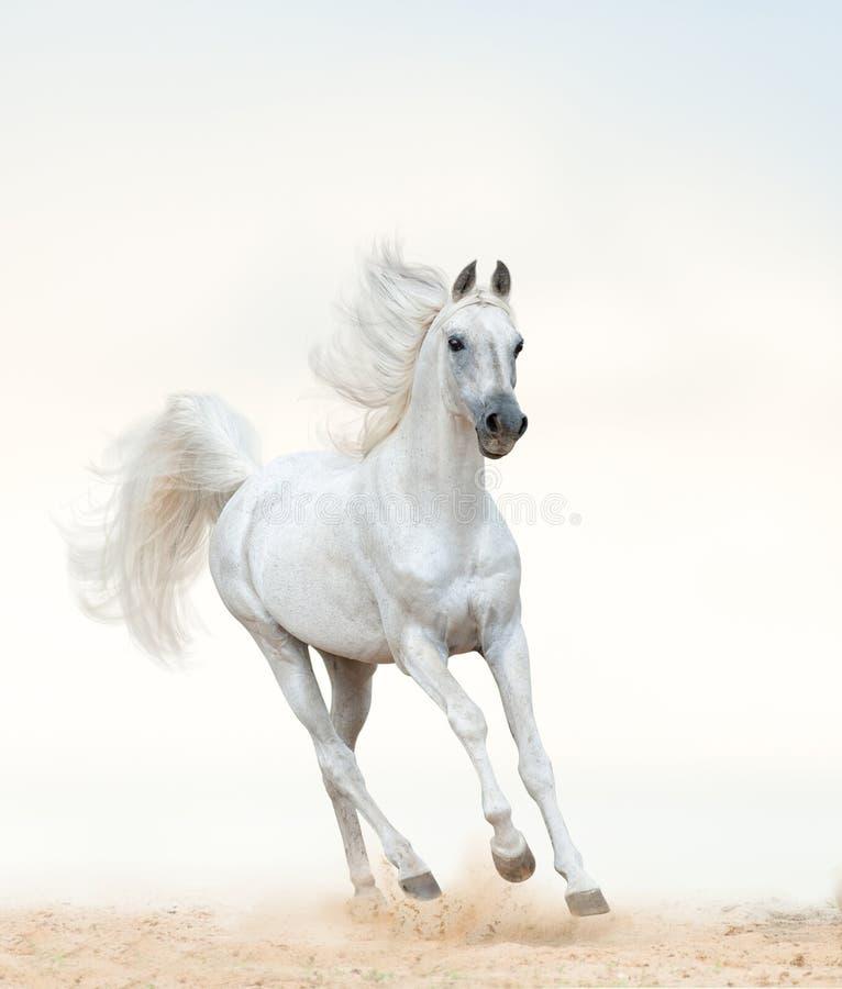 Free Beautiful Arabian Stallion Running On Freedom Royalty Free Stock Image - 191393446