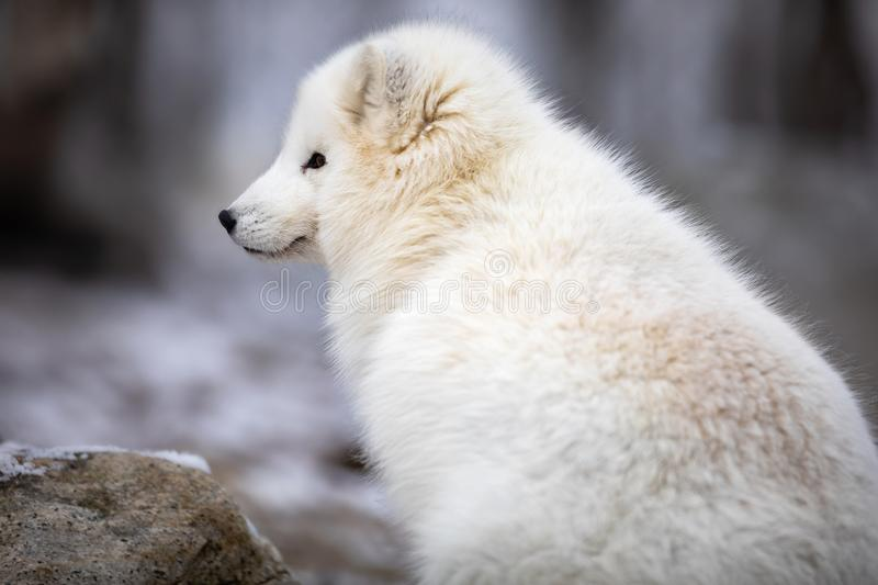 Beautiful arctic fox in white winter coat sitting. Beautiful arctic fox, Vulpes Lagopus, in white winter coat looking while sitting down on a large rock royalty free stock photography