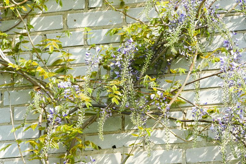 Beautiful artificial lilac wisteria on a stone stock images