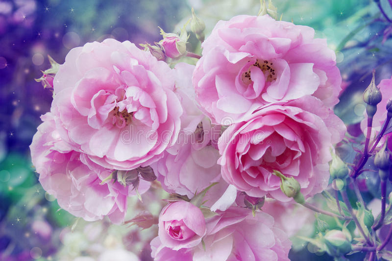 Beautiful artistic background with romantic pink roses. In the garden stock image