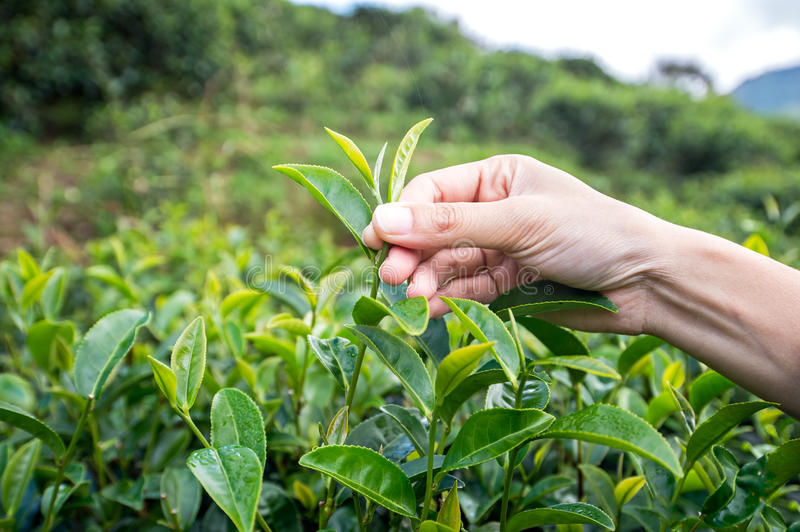 Beautiful Asian girl picking tea leaf in tea plantation royalty free stock photos