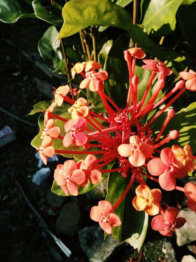 Asoka flower stock photo