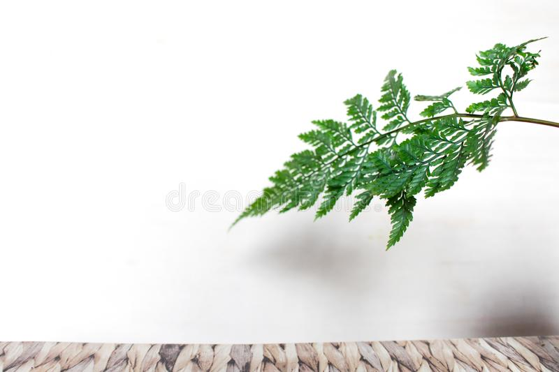 Asparagus ferns leaf on white background. Beautiful Asparagus ferns leaf on white background with empty space for text stock photos