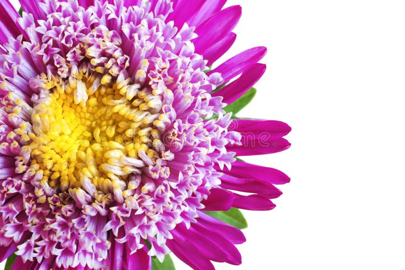 Beautiful aster flower on white background stock photo