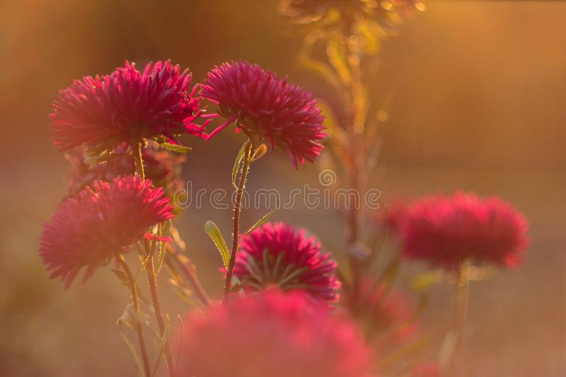 Beautiful aster flowers in golden sunlight. Lush aster flowers blossom. beautiful cosmos flowers royalty free stock photo