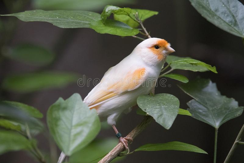 A beautiful Atlantic canary looking for food. In a cloudy day royalty free stock photography