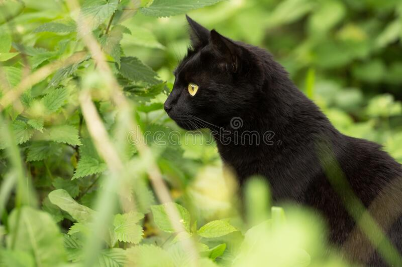 Beautiful attentive bombay black cat portrait in profile with yellow eyes close up, copyspace. Ð¡at is looking in the left stock photos