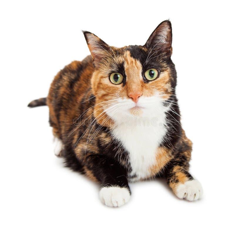 Beautiful Attentive Calico Cat Looking Forward royalty free stock photos